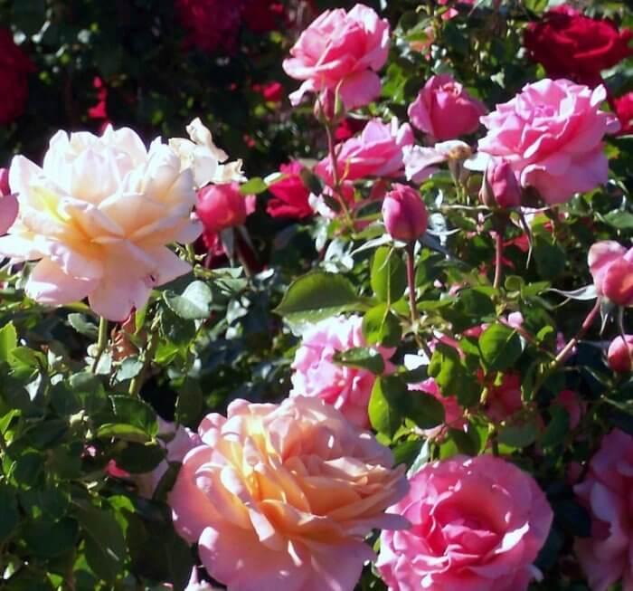 Черенкование роз из букета