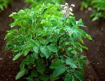 Как получить хороший урожай картофеля и лука