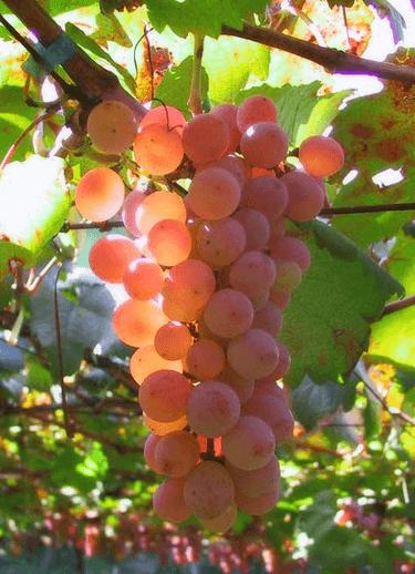 Как ухаживать за виноградом в первый год роста