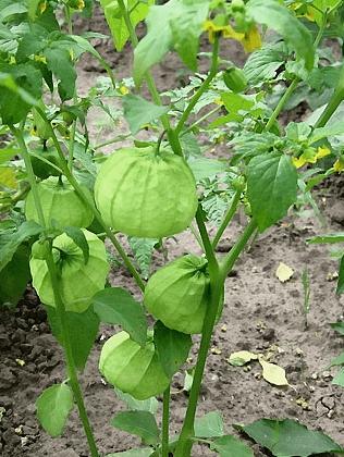 Как вырастить ценный овощ физалис