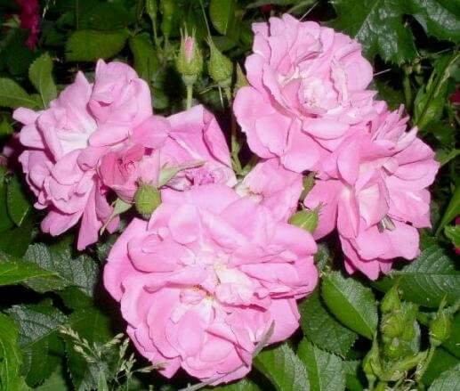 Морщинистая роза, которая не боится морозов