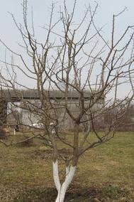 Плодовые деревья весной