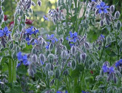Польза выращивания огуречной травы