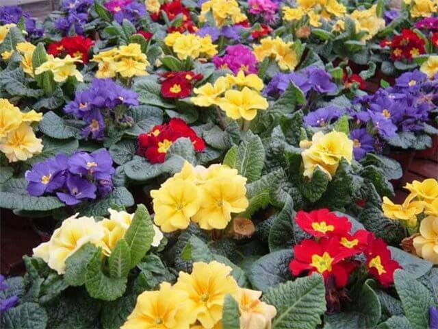 Примула - предвестник весны