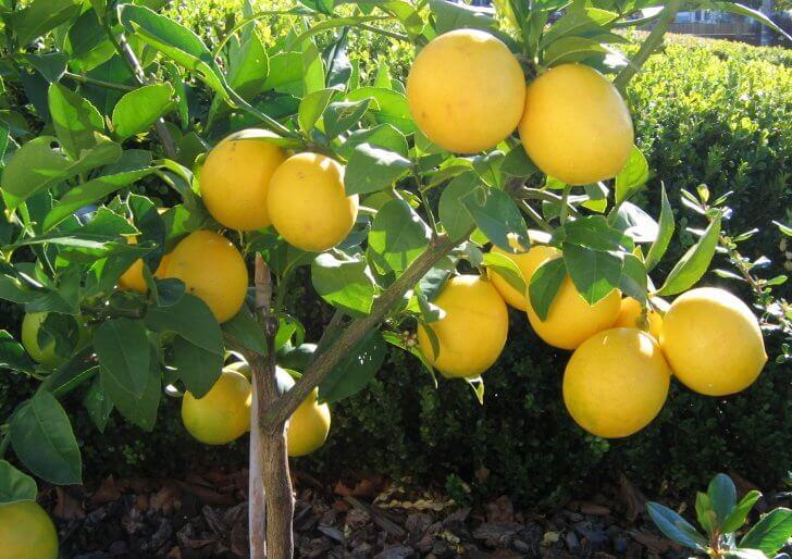 Вырастить лимон